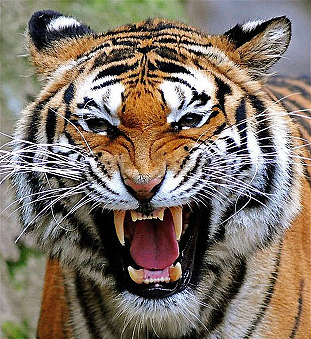 tiger_growling1.png